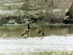 Canadian Geese On Frosty Shore