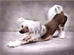 A LOVELY CHINESE CRESTED