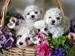 A BASKET OF BICHON FRISE