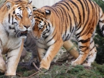 TIGERS BY TWO