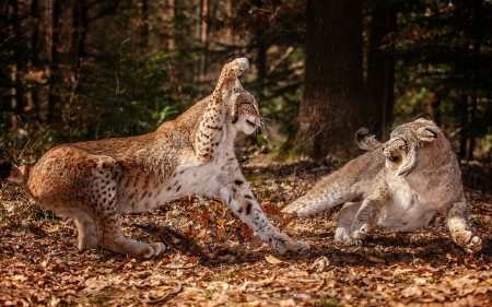 Lynx fighting - fighting, lynk, cats, wild