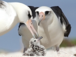 *** Albatross with chick ***