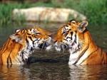 tiger beauty