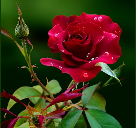 Red Rose Of Love Flowers Nature Background Wallpapers On