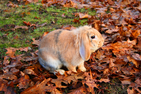 Hurrem the Bunny - fall, autumn, leaves, bunny, rubbit