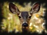 Montana Mule Deer 2