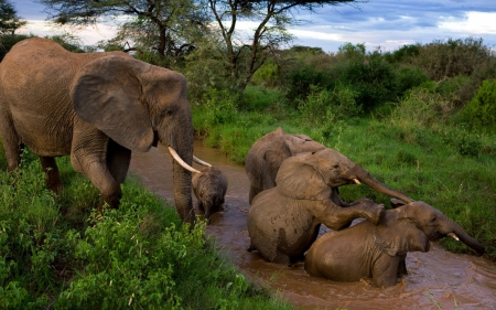 mud bath - elephants, mud, fun, cute, big, wild, love, jungle, funny, animals