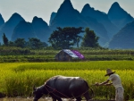 man plowing rice fields with a buffalo