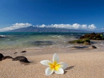 Plumeria Frangipani Melia Tropical Flower on Hawaiian Beach Polynesia Paradise Island Sea Ocean