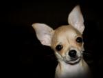 *** Chihuahua ***