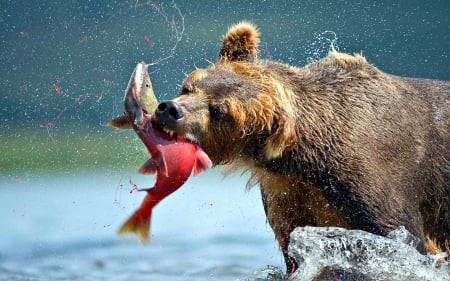 Bear catching Salmon - Canada, Bear, Salmon, River