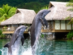 Dolphins jumping and playing in the Blue Lagoon at Tropical Paradise Island Moorea Polynesia
