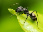 Black Ant on a Leaf