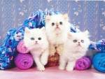 Three persian kittens