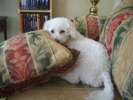 Lucky, My Bichon Frise Rescue