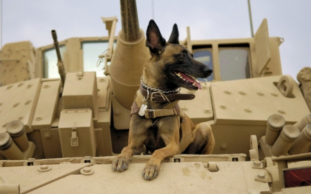 Dog In Army German Shepherd Dogs Animals Background Wallpapers