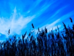 water reeds under beautiful blue sky