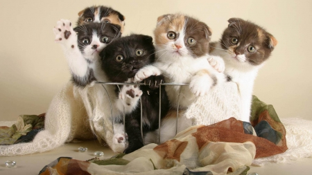Five scottish fold kittens - cute, paws, folded ears, scottish fold, kittens