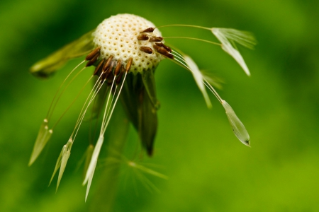 MACRO GRASS HEAD - weed, head, grass, photos, spring, dandelion, close up, macro, summer, flower, nature
