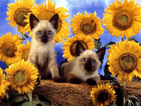 sunflowers & kitties