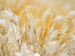 Gold and White Grasses
