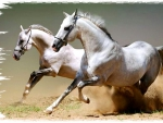 Cantering Greys - Horses 2