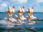 Water hen :)