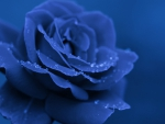 Blue Rose for Carol