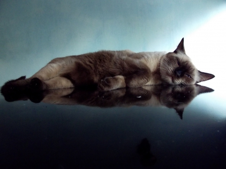 *** Cats reflection *** - reflection, anmal, cats, animals