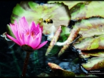 Bee on a waterlily