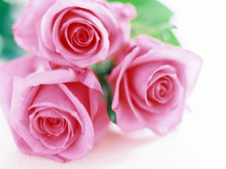 Still Life - Beautiful, Pretty, Roses, Pink