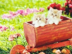 Two red persian kittens