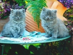 Two grey persian kittens