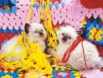 Two himalayan kittens with yarn