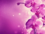 Purple / Pink orchid