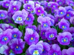 ❤ Sweet Violet Blue Pansies ❤