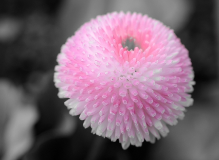 Pretty in Pink - photography, Pink, Black and White, nature, Flower