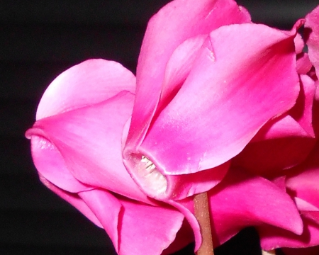 Cyclamen 2 - flowers, close up, pink, cyclamen