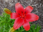 Red Oriental Lily