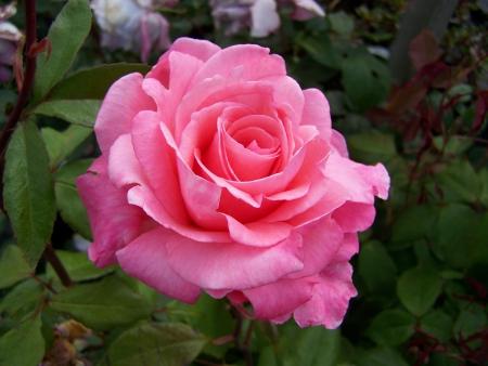 Large Pink Rose - Flowers & Nature Background Wallpapers on Desktop Nexus  (Image 1519519)