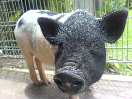 baby pig - pig, cute animal