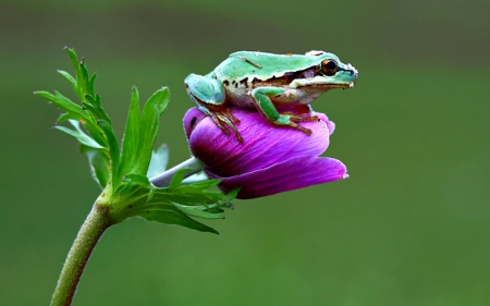 Mr.Frog - frog, flower, reptiles, bud, animals