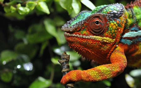 CHAMELEON - COLORS, ANIMAL, Reptilia, CHAMELEON