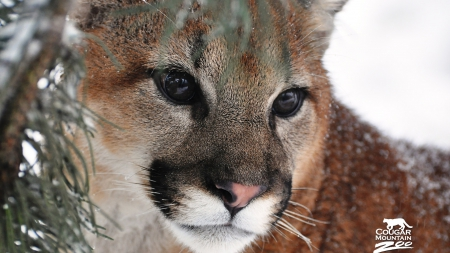 Cougar - nature, cats, Cougar, animals