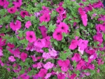 Pink Petunias at the park