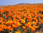 Antelope Valley Poppy Reserve, California