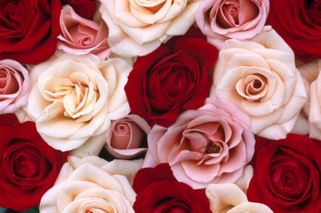Pinkredwhite roses flowers nature background wallpapers on pinkredwhite roses mightylinksfo