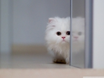 Cute White Cat!