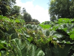 View over the top of Giant Gunnera Manicata at Trebah tropical gardens Cornwall United Kingdom