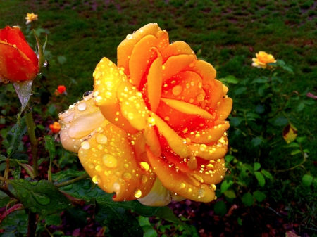 WET ROSE - wet, rose, yellow, nature, drops